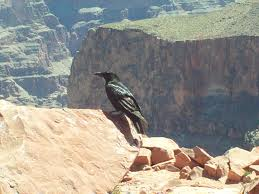birds-of-the-grand-canyon