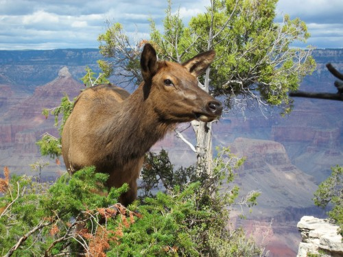 mammals-of-the-grand-canyon