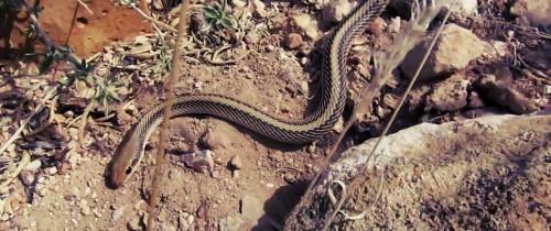 Grand-Canyon-Snakes