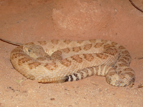 Grand_Canyon_pink_rattlesnake