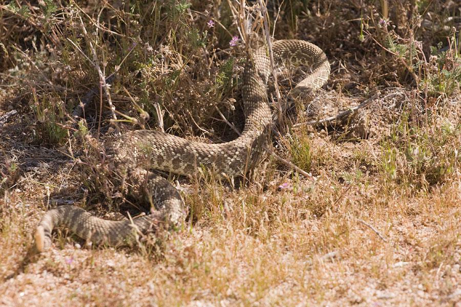 Mojave_Green_Rattlesnake