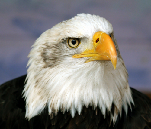 birds of the grand canyon-baldeagle