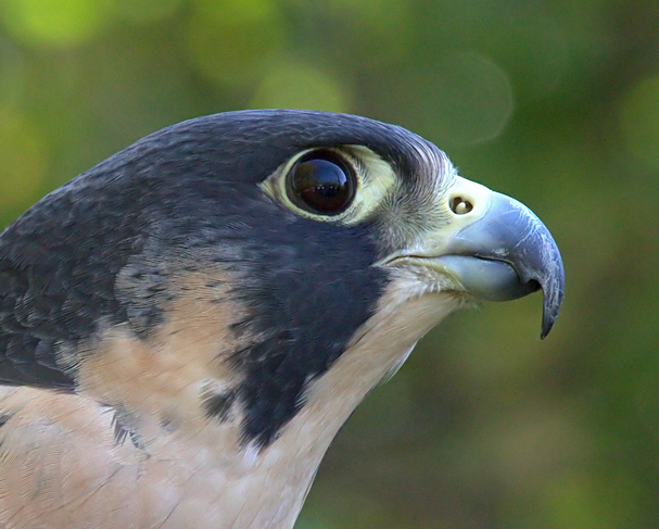 birds of the grand canyon-peregrinefalcon