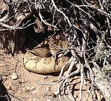 great-basin-rattlesnake