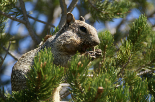 Rock Squirrels Considered the Most Dangerous Animal at the National Grand Canyon