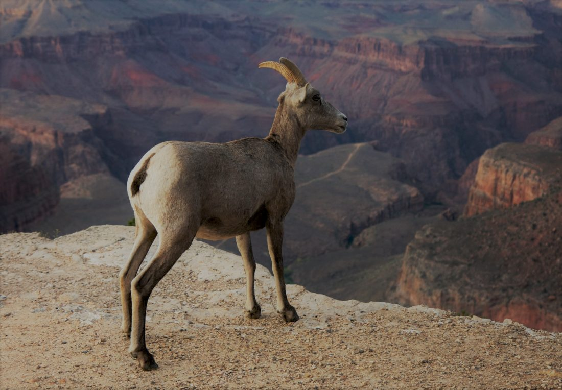 grand canyon - bighorn ewe