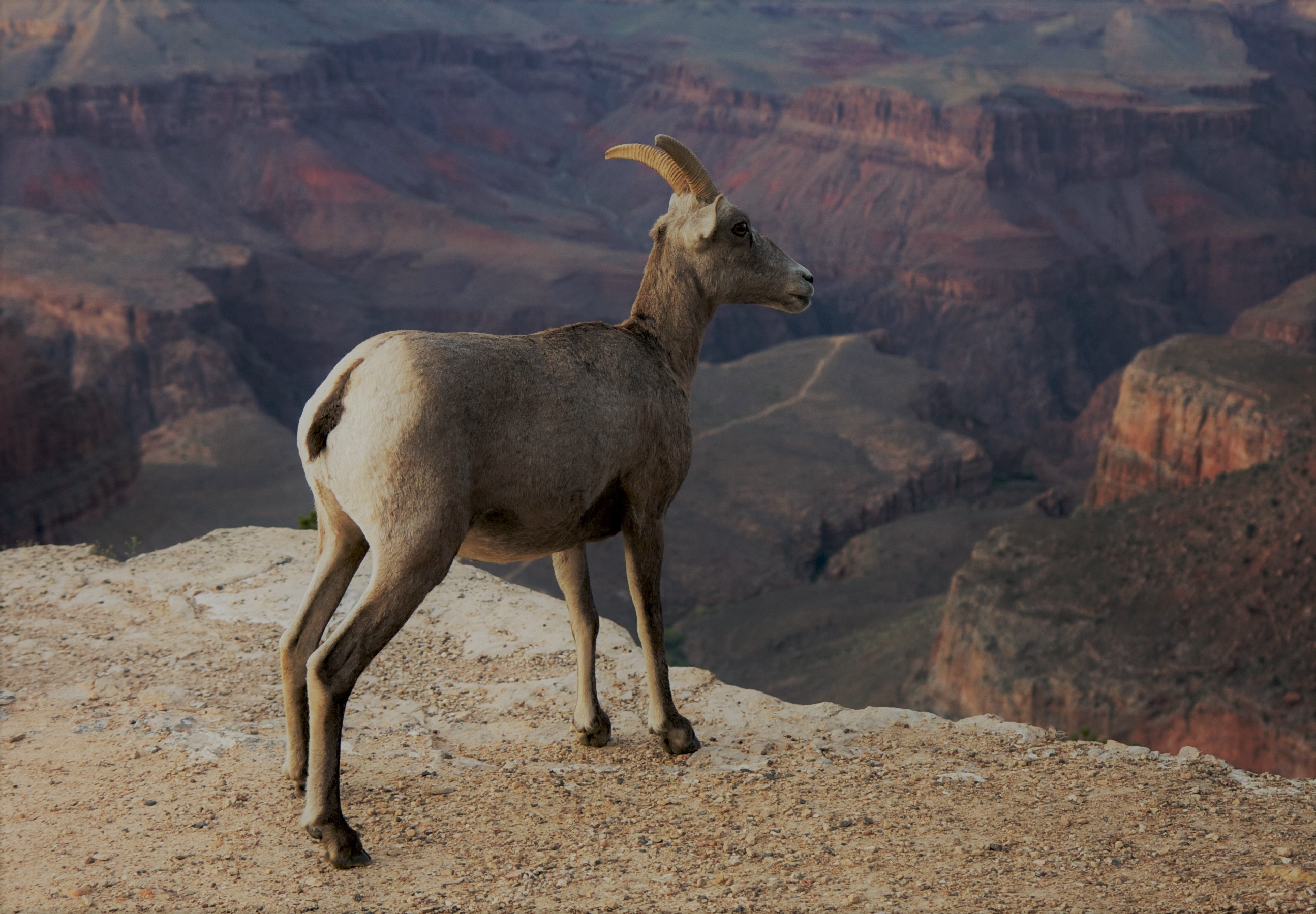 animals-in-the-grand-canyon-bighorn-ewe
